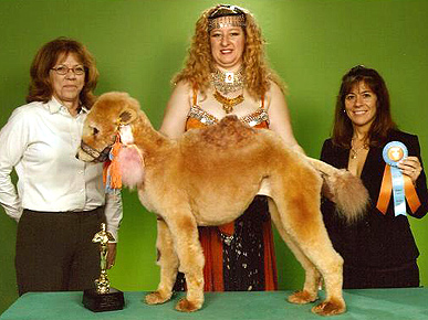 http://touleh.com/wordpress/wp-content/uploads/2009/03/camel-poodle.jpg